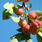 Crabapples by Linda Marlowe