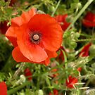 Poppy by RosaMarieAshby