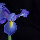 A Dramatic Moment With A Blue Iris by daphsam