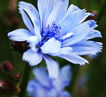 Blue wild flower by Antanas