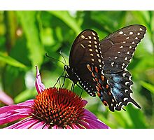 Spicebush Swallowtail Photographic Print