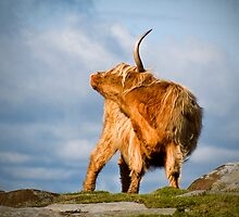 Highland Cow by Steven  Lee