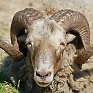 What Big Horns ........... by Robert Abraham