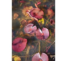 plant types #51, water lilies in spring Photographic Print