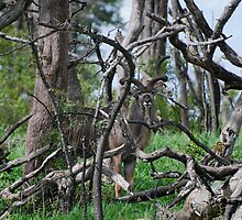 Kudu playing peek a boo by JohnsJems