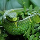 Striped Palm Pit Viper by Dennis Stewart