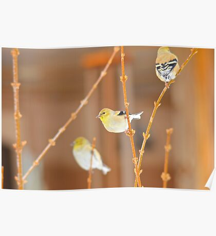 American Gold Finch Poster
