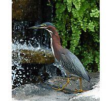 NIght Heron Photographic Print