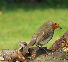Robin pause for thought by Paul Revans