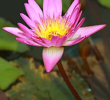 Water Lily by Christophe Testi