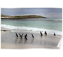 Magellanic Penguins on the Beach Poster