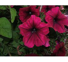 Petunias Photographic Print