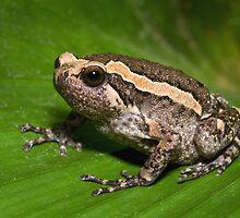 Asian Bullfrog by Frank Yuwono