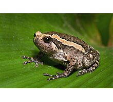 Asian Bullfrog Photographic Print
