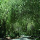 Elegant Weeping Willow Trees....... by DonnaMoore
