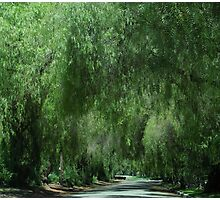 Elegant Weeping Willow Trees....... Photographic Print