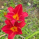 Two Red Daylillies, Hemerocallis by 4spotmore