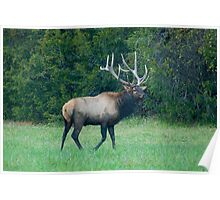 Bull Elk at Ponca Arkansas Poster