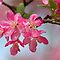 FLOWERING CRABAPPLE BLOSSOMS by Lori Deiter