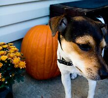 jack/rat terrier by sarah jost