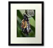 Just Emerged Monarch Butterfly Framed Print