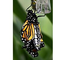 Just Emerged Monarch Butterfly Photographic Print