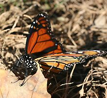 Monarch Butterfly Posing by SmilinEyes