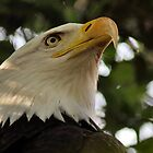 American Bald Eagle by Dennis Stewart