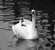 Just Swanning Along by kalaryder
