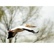 American White Pelican - Flight Photographic Print