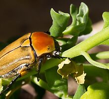 Unnamed Christmas Beetle by orpheus