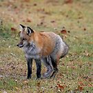 The Red Fox by Vickie Emms