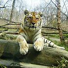 Tiger by clizzio