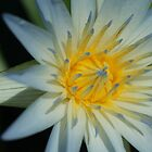 Water lilly by Russell Harris