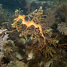 Leafy Sea Dragon - Wool Bay by Matt Gibbs