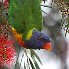 Rainbow Lorikeet by Steve Bullock