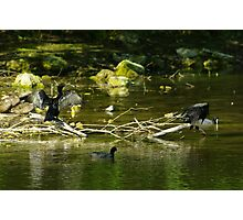 Two Shags on a Stick Photographic Print
