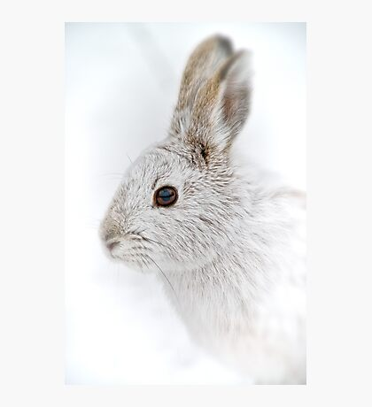 Showshoe Hare Photographic Print