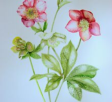 Hellebores by Denise Martin