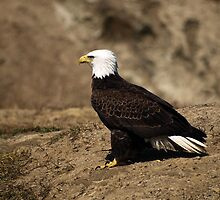 Lone Eagle by Stan Wojtaszek