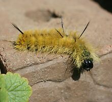 Dagger Moth Caterpillar by SmilinEyes