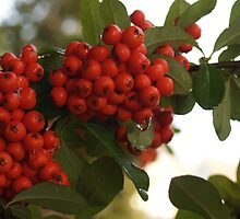 Raindrops on Pyracantha by Anna Lisa Yoder