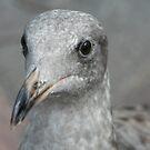 Juvenile Gull by Kristin Nichole Hamm