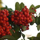 Droplets on Pyracantha Berries by Anna Lisa Yoder