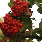 Pyracantha Stem with Droplets by Anna Lisa Yoder