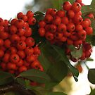 Pyracantha Berries after Rain by Anna Lisa Yoder