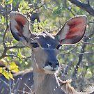 Kudu (Tragelaphus strepsiceros), Khama Rhino Sanctuary, Botswana, Africa by Adrian Paul