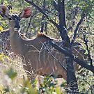 Kudu (Tragelaphus strepsiceros), Khama Rhino Sanctuary Botswana by Adrian Paul
