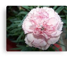 Spider On A Pink Carnation Canvas Print