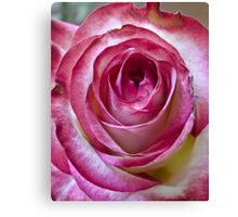 Pink White rose 6 Canvas Print